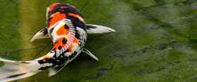 View, Visit or Tour Our Koi Farm