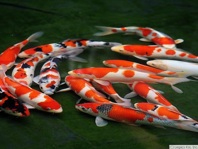 Image gallery koi japan for Pool koi manchester